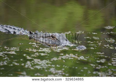 Predatory Alligator In Green Murky Swamp Waters.