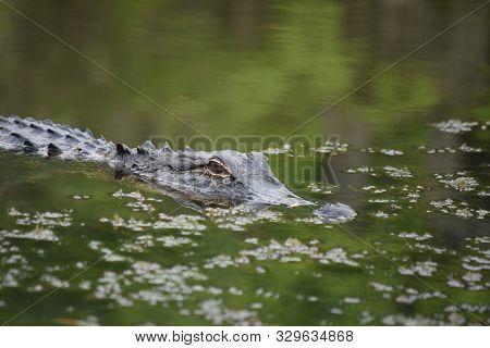 Predatory Alligator In Murky Green Swamp Waters.