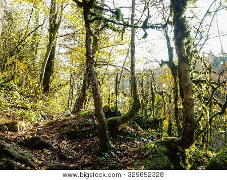 Boxwood Forest In The Mountains. Unusual Wood In The Mountain Forest Thicket.
