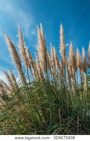 A Large Cluster Of Feathery Tall Pampas Grass Closeup Looking Upward Towards The Bright Blue Sky In