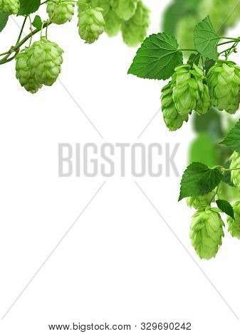 Hop Plant. Hop Over White Background. Twigs Of Hop With Cones And Green Leaves . Brewing. Backdrop O