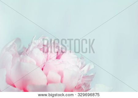Blooming Pink Peony On Gentle Blue Background. Natural Flowery Background With Copy Space. Toned Ima
