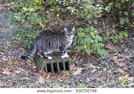 Well Fed Grey Tabby Cat Exploring His Neighborhood In Autumn