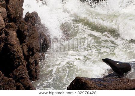 New Zealand fur seal, Arctocephalus forsteri