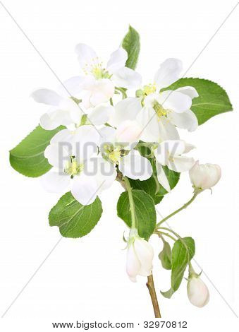 Single Branch Of Apple-tree With Leaf And Flowers