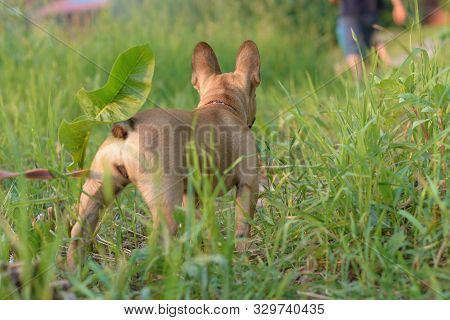 Dog Abandoned By Man. A Puppy Of A French Bulldog Watches His Owner  Leave.