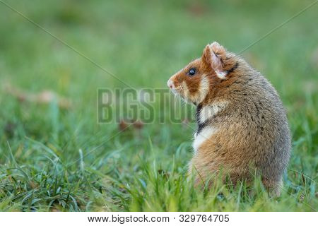 A European Hamster In A Meadow Looking For Food, Cemetery In Meidling (vienna, Austria)