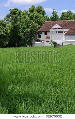 Rice Field And Farm House