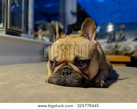 Sad French Bulldog Laying On Couch In Conservatory