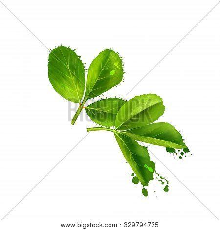 Fenugreek. Shambala. Helba. Fenugreek Trigonella Foenum-graecum, Medicinal Plant. Annual Plant In Fa
