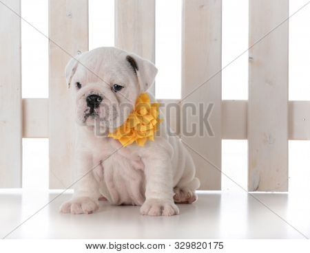 adorable female puppy sitting in front of a white picket fence isolated on white background