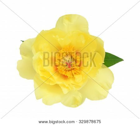 Yellow Peony Flower Isolate On White Background