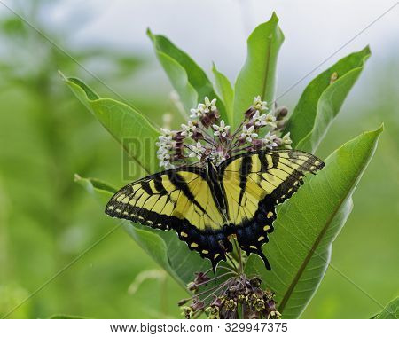 An Easter Tiger Swallowtail (Papilio glaucus) a large yellow and black butterfly, gathering nectar from a milkweed flower, in Mt Airy, Frederick County Maryland. poster