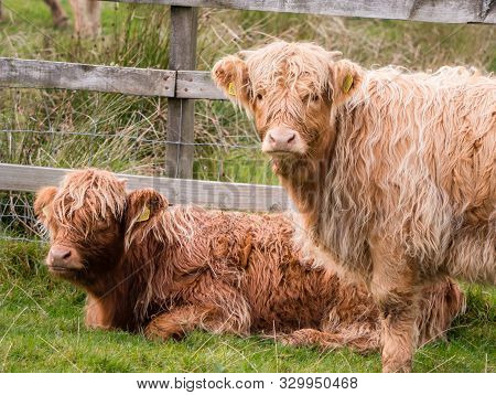 Highland Cows In Scottisch Landscape Stare At Camera