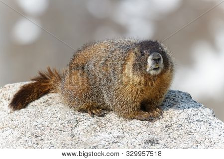 Marmots Are Common In The Rocky Mountains And Are Very Sociable Animals. They Are Related To Squirre