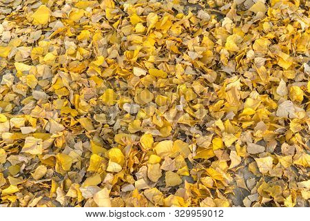 Natural Autumn Pattern Background With Dry And Yellow Mapple Foliage. Fall Leaves Pattern. Yellow Le