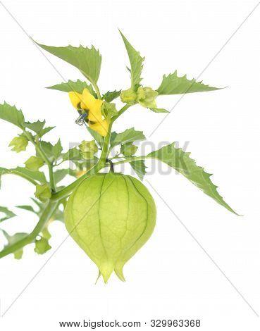 A Fresh Tomatillo Fruit On White Background