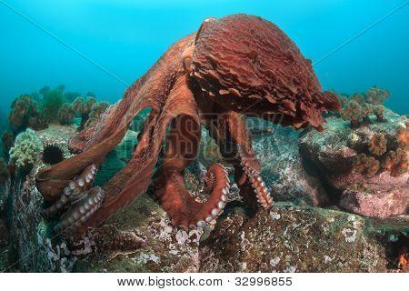 Dance Of Giant Octopus