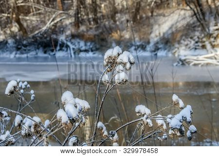 Dry Gray Purple Woolly Burdock Plants With White Snow In The Forest In Winter