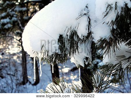 Snow And Icicles Hang From A Green Pine Bough In A Snowy Winter Mountain Scene.