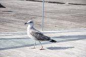 Seagulls at Barcelona Port - World Amazing Animals Series poster