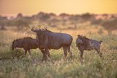 Savanna bush back lit by Orange morning light with three Common Blue Wildebeest or Brindled Gnu (Connochaetes taurinus) walking by on famous S100 road in Kruger national park South Africa poster
