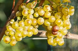 Close-up Of Ripen Chardonnay White Wine Grapes Ready For Harvesting