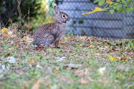 Closeup Of A Cute Wild Brown Bunny Rabbit Sitting On Fallen Leaves In A Suburban Neighborhood