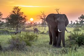 African Elephant (loxodonta Africana)  Walking In Bushveld In Early Morning Sun In Kruger National P