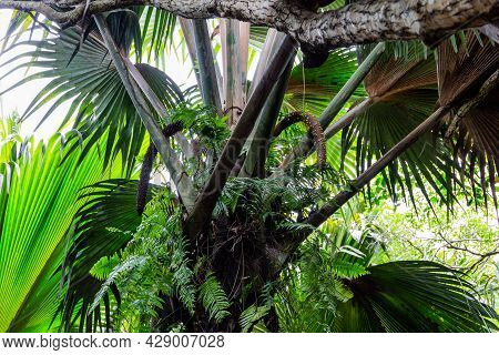 Male Inflorescence Fruit Clusters Of  Coco De Mer (lodoicea Maldivica) With Large Palm Leaves Around