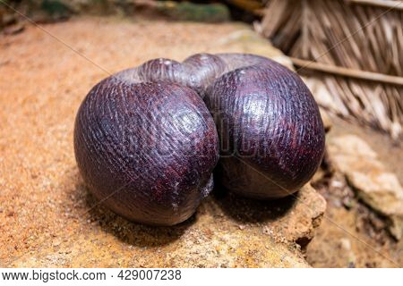 Coco De Mer Nut (lodoicea Maldivica), The Largest Nut In The World, Endemic To Praslin And Curieuse