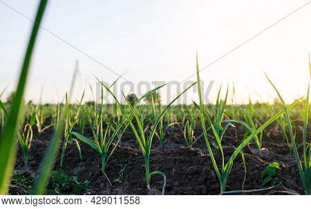 Leek Sprouts On A Farm Plantation. Fresh Green Top Leaves. Agroindustry. Farming, Agriculture Landsc