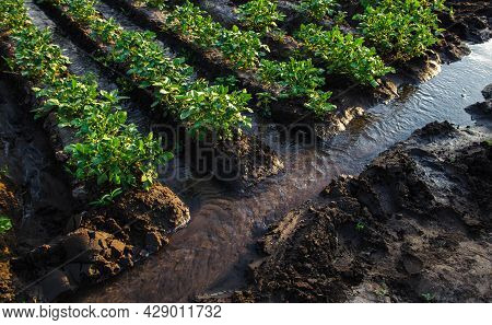 Watering Potato Plantation With Surface Irrigation Canal With Water.european Organic Farming. Agricu