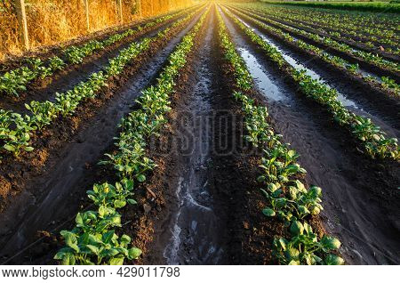 Wet Soil On A Potato Plantation In The Early Morning. Rain And Precipitation. Surface Irrigation Of