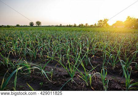 Leek Onions Farm Field. Fresh Green Vegetation After Watering. Agroindustry. Farming, Agriculture La