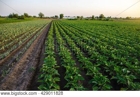 Eggplant And Leek Plantation Field. Agriculture, Farmland. Growing On Open Ground. Growing Organic V