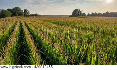 Corn Field Agriculture Under A Sunset Sky. Green Nature. Rural Farm Land In Summer. Plant Growth. Fa