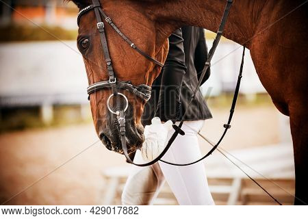 Portrait Of A Beautiful Bay Horse With A Bridle On Its Muzzle, Which The Rider Leads, Holding The Re