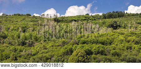 Panoramic view of Aspen trees on San Juan mountains near Ridgeway Colorado in summer time.
