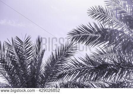 Tropical Tourism Paradise Palms In Sunny Summer Sun Purple Sky. Sun Light Shines Through Leaves Of P