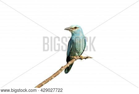Perched European Roller Against White Clear Background.