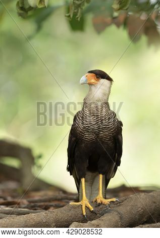Close Up Of A Southern Crested Caracara Perched On Tree Roots, Pantanal, Brazil.
