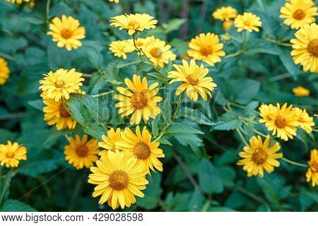 Bunch Of Yellow Flowers Tuscan Gold - False Sunflower