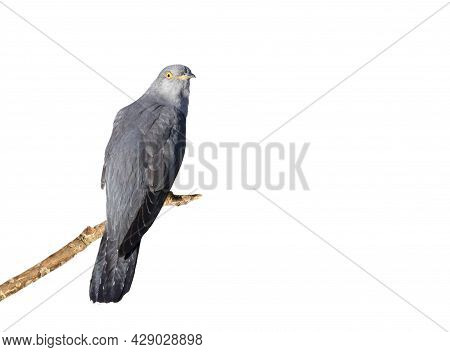 Common Cuckoo Perched On A Branch Against Clear White Background.