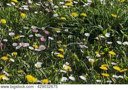 Springtime Glade In Bloom With Grass And Wild Flowers, Sofia, Bulgaria