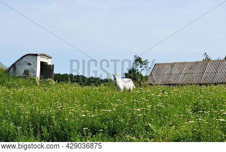 White Small Goat With Horns Looking In Green Grass