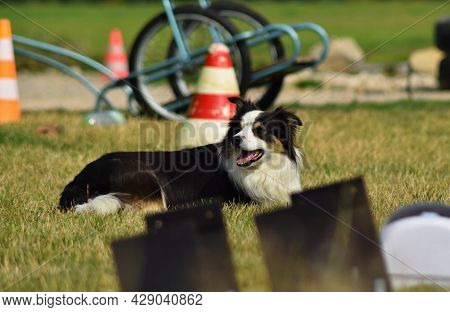 Dog, Border Collie In Agility.  Amazing Evening, Hurdle Having Private Agility Training For A Sports