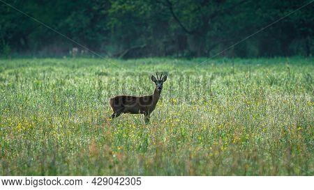 Male Roe Deer (capreolus Capreolus) Walks On A Green Meadow. Roe Deer Looking For A Food. Animal In