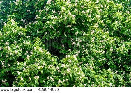 Blooming Chestnut Tree At Sunset.blooming Chestnut Tree.