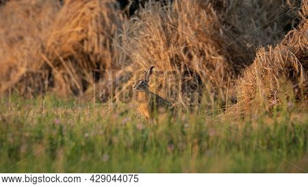 European Brown Hare (lepus Europaeus) Resting In A Meadow. The Hare Is Basking In The Sun. Hare In S